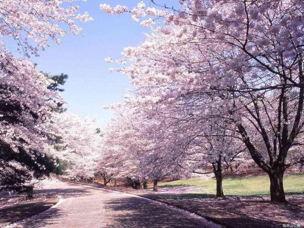 Цветущий вишневый сад