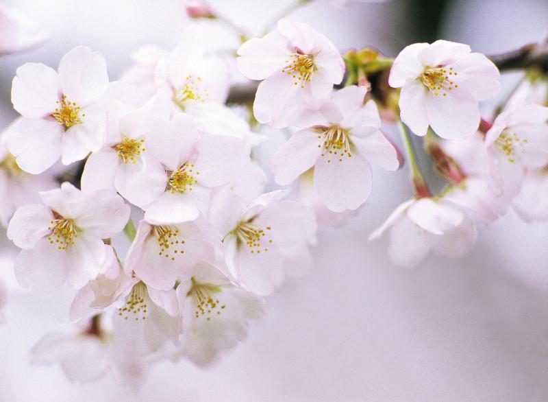 Фото сакуры цветка