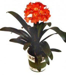 Цветок clivia