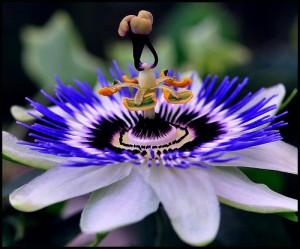 Цветок страсти