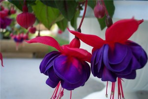 Колокольчик цветок домашний фото