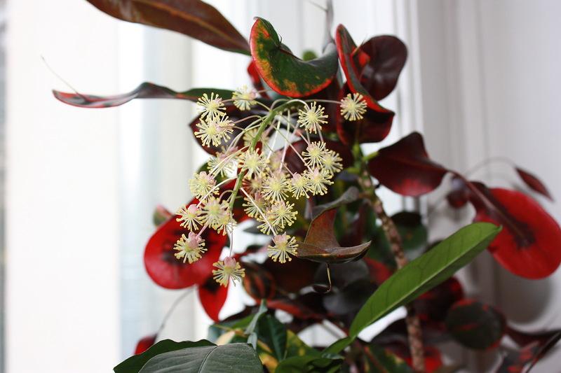 кротон  цветение