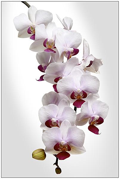 Прекрасные орхидеи | Зелёный Мир: http://zeleny-mir.ru/prekrasnye-orkhidei/