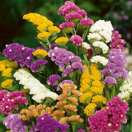 Цветок кермек фото
