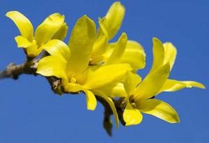 Цветки форзиции яйцевидной