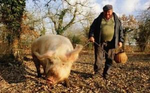 Свинка в поисках трюфеля