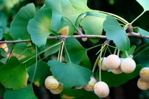 Ггинкго билоба - уникальное дерево