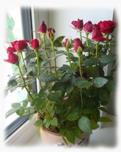 Комнатная роза фото и название