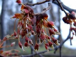 цветение вяза