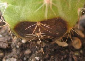кактусовая фитофтора