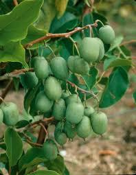 плоды актинидии коломикты