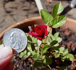 миниатюрная роза