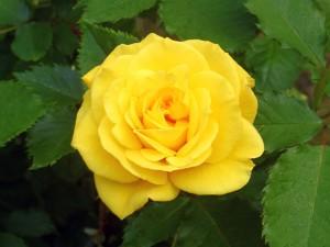 розы часть 5
