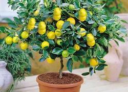 лимонное деревце