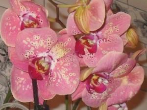 цветут фаленопсисы