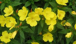 Садовые цветы фото и название энотера