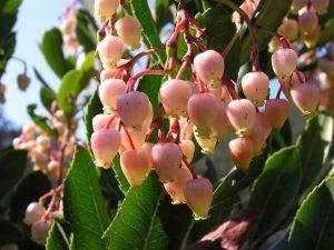 цветение Арбутуса