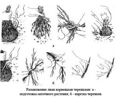 размножение лиан корневыми черенками