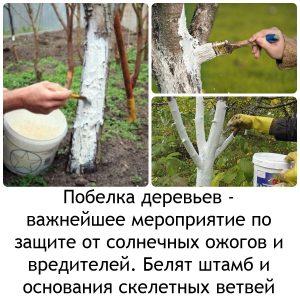 побелка деревьев1