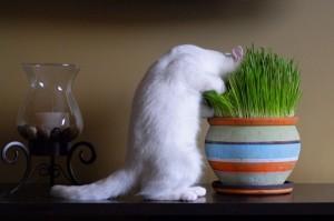 Для кошек лучше проращивать травку