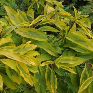 Листья форзиции зеленейшей сорт Голден Таймс
