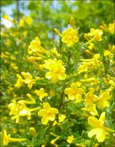 Жасмин кустарниковый (желтый)