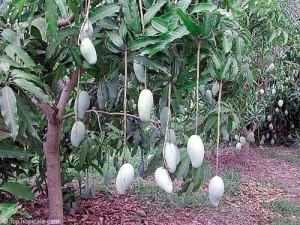 Еще незрелые плоды манго свисают с дерева