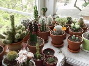 Зимний садик из кактусов