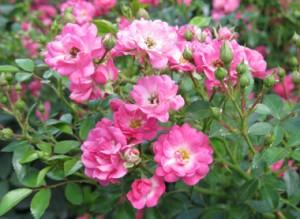 Пернецианские розы