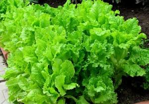 Салат огородный