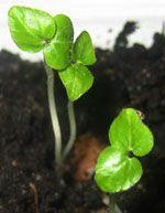 Абутилон из семян