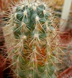 красный клещ на кактусе
