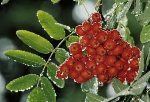 Рябина Российская (Ликерная) - Мичурин скрестил лесную рябину с черноплодной, зимостойкая и имеет высокий урожай
