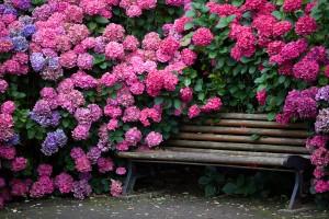 гортензия принцесса в цветнике