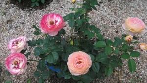 мульчирование роз