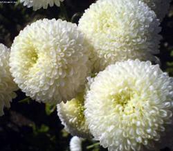 помпонные хризантемы