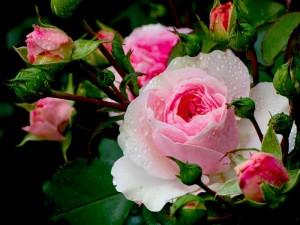 роза ч3