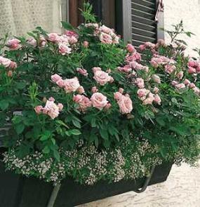 розы в контейнере