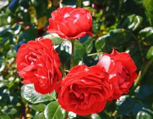 розы часть 7
