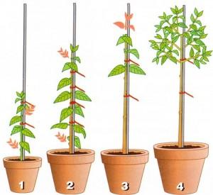 ствол растения должен быть вертикальным и без изгибов