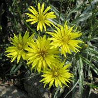 цветение скорцонеры