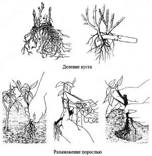 размножени лиан порослью и делением