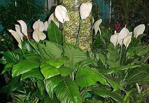 spatifillum-cvetushhijj